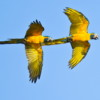 How to end illegal pet trade of the Blue-throated Macaw
