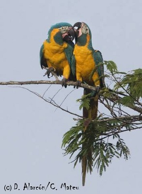 ara-glaucogularis-blue-throated-macaw-d-alarcon-c-mateu