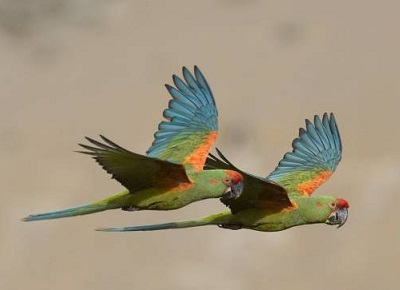 ara-rubrogenys-red-fronted-macaw-d-alarcon-c-mateu