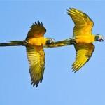 blue-throated-macaw-beni-savanna-bolivia-armonia