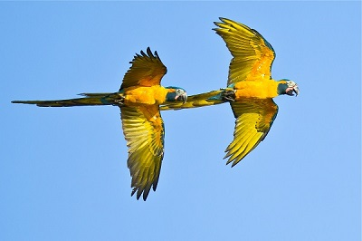 blue-throated-macaw-beni-savanna-bolivia-armonia