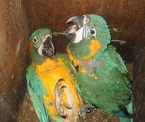 blue-throated-macaw-nest-box-program-barba-azul-nature-reserve-bolivia-armonia