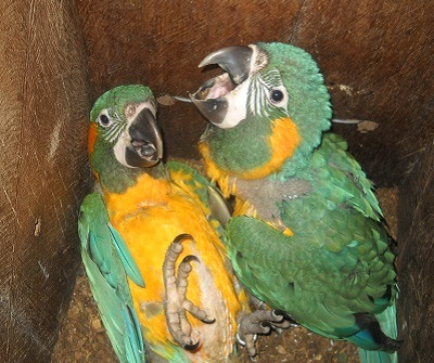 blue-throated-macaw-nest-box-program-barba-azul-nature-reserve-bolivia-armonia