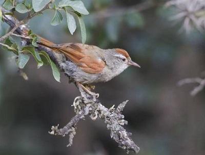 cranioleuca-henricae-bolivian-spinetail-d-alarcon-c-mateu