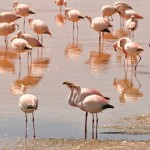 jamess-flamingo-phoenicoparrus-jamesi-s-k-herzog-copy