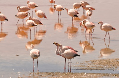 jamess-flamingo-phoenicoparrus-jamesi-s-k-herzog-copy