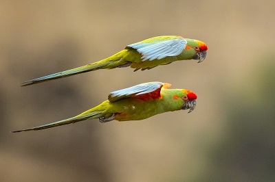 red-fronted-macaw-bolivia-armonia