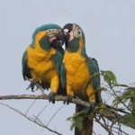 Blue-throated Macaws in Barba Azul Nature Reserve, Bolivia