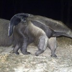 Giant anteater carrying her baby in the Barba Azul Nature Reserve, northern Bolivia