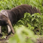 Giant Anteater at the Barba Azul Nature Reserve