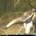 Giant anteater carrying its baby in the Barba Azul Nature Reserve in northern Bolivia