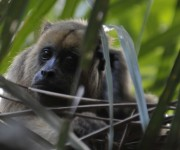 Howler monkey in Barba Azul Nature Reserve, Bolivia