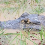 Caiman in the Barba Azul Nature Reserve