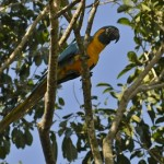 Macaw in the Barba Azul Nature Reserve, north Bolivia