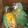 Nest boxes: a lifeline for Blue-throated Macaws
