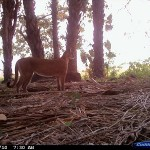 Puma in the Barba Azul Nature Reserve, in northern Bolivia