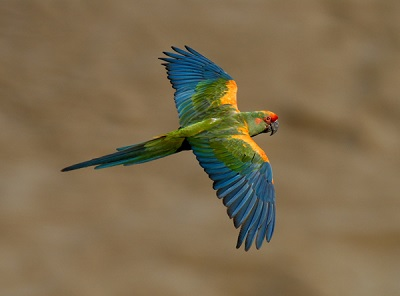 red-fronted-macaw-ara-rubrogenys-s-reichle-copy (1)