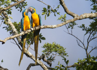 barba-azul-nature-reserve-blue-throated-macaws-armonia-bolivia