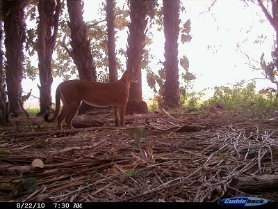 puma-barba-azul-nature-reserve-armonia-bolivia