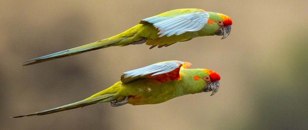 red-fronted-macaw-ara-rubrogenys-s-k-herzog-large