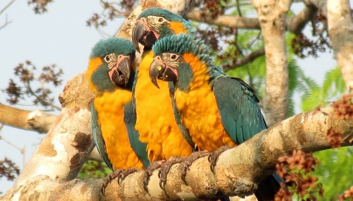 barba-azul-nature-reserve-blue-throated-macaw-armonia-bolivia