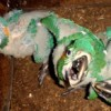 Critically Endangered macaw chicks fly the nest boxes