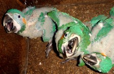 Blue-throated Macaw chicks in their nest box