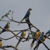First population survey of Critically Endangered Blue-throated Macaws