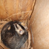 First-ever record of White-eared Opossum for Beni Department in the Barba Azul Nature Reserve