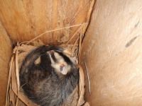 White-eared Opossum (Luis Miguel Ortega)