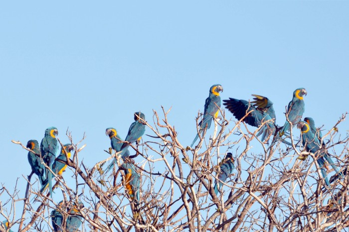 Fifteen birds were recorded at a roosting site, 40 Km North of the Barba Azul Nature Reserve in an area where BTM were not known to exist. (Photo: Tjalle Boorsma)