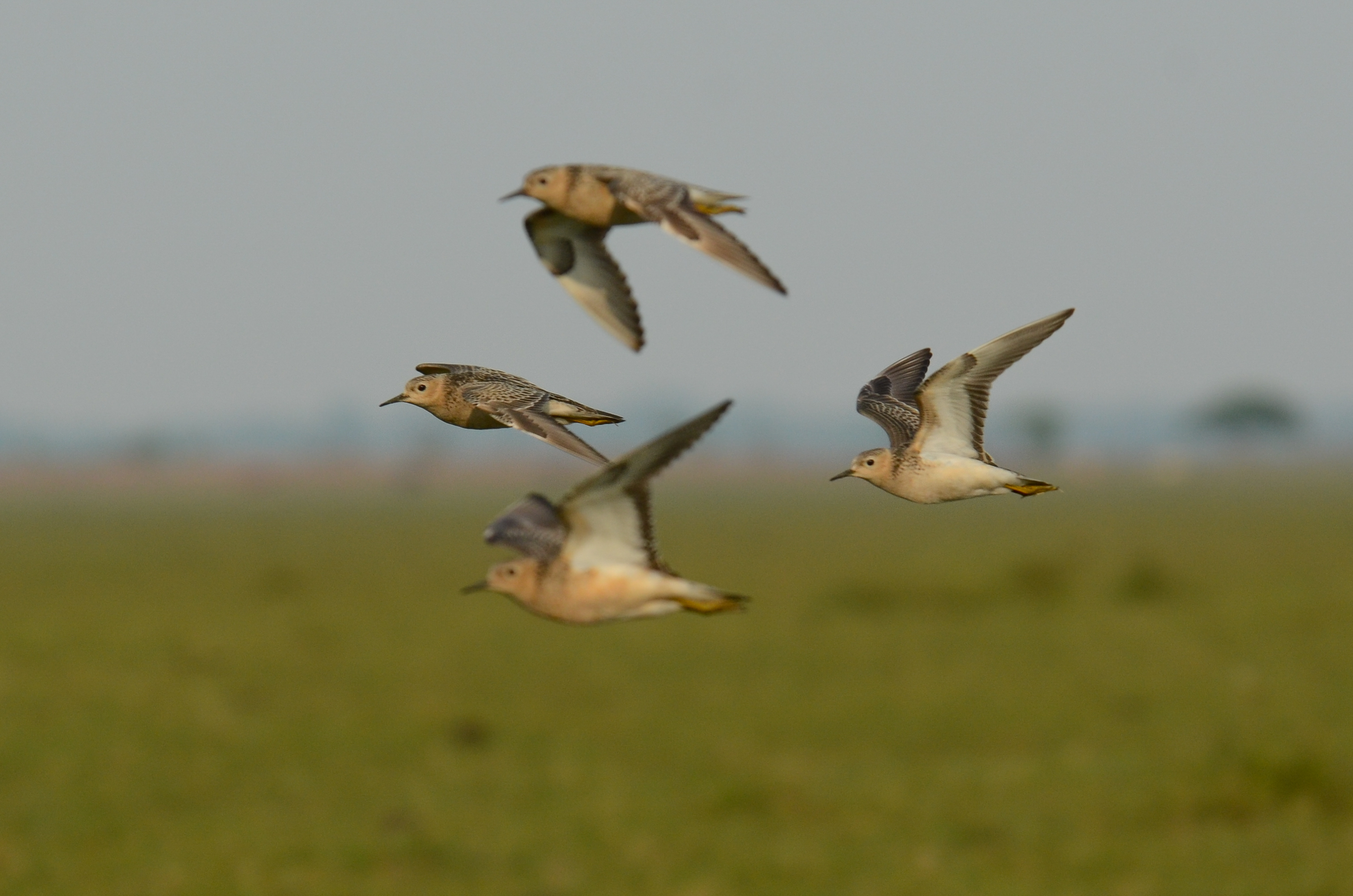 buff-breasted-sandpipers