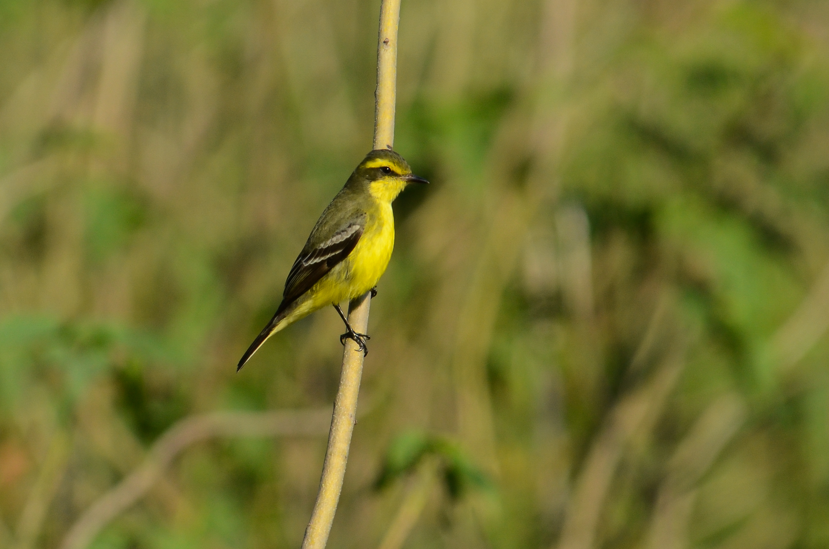yellow-browed-tyrant