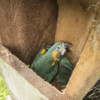 Record number of nine Blue-throated Macaw chicks fledged from Armonía nest boxes