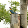Nest boxes: a lifeline for the Blue-throated Macaw