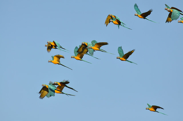 Flock of the Critically Endangered and endemic Blue-throated Macaws (Ara glaucogularis) over Barba Azul Nature Reserve (Photo: Sebastian K. Herzog)