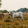 Beefing up sustainable cattle-ranching is a bargain for Bolivia and its birds