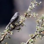 Anairetes alpinus (Ash-breasted Tit-tyrant)