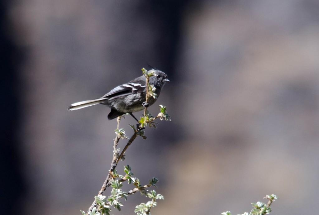 Anairetes alpinus (Ash-breasted Tit-tyrant)2