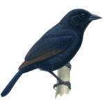 Oreopsar bolivianus