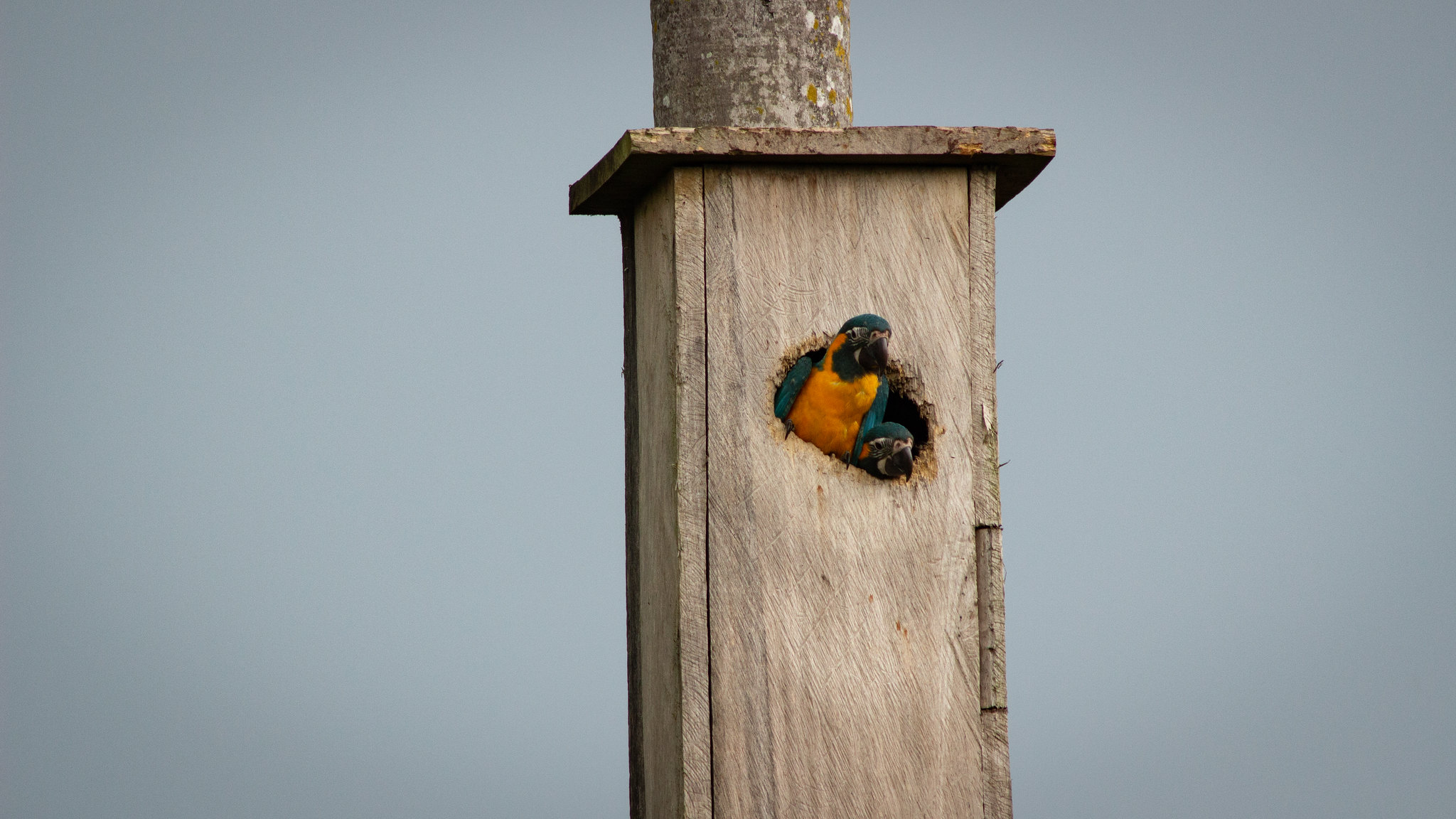 New Nest Box Record at Laney Rickman Reserve