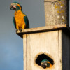 New Nest Box Record at Laney Rickman Blue-throated Macaw Reserve