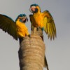 Discoveries from 2020 Nest Search Expedition Guide Next Steps for Blue-throated Macaw Research and Conservation